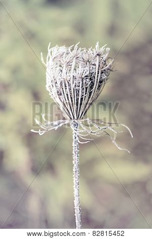 Frozen Queen Anne's Lace -Retro