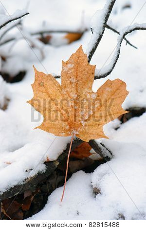 Maple Leaf On Snow Covered Ground