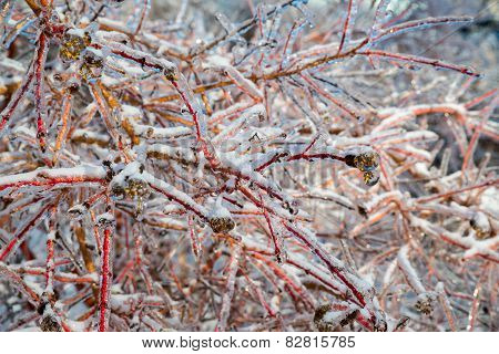 Ice Covered Branches Close Up