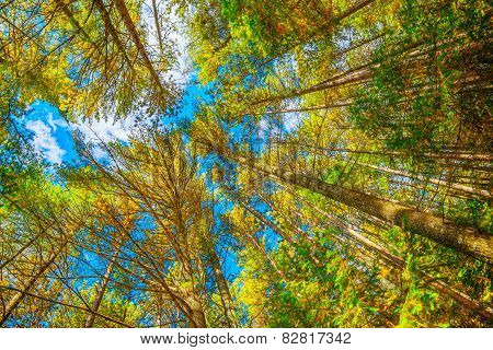 Looking Up At Trees In Wide Angle