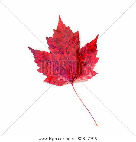 Red Spotted Maple Leaf Isolated On White