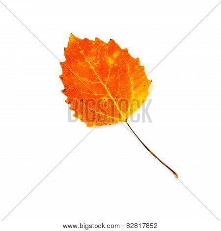 Fire Orange Aspen Leaf Isolated On White