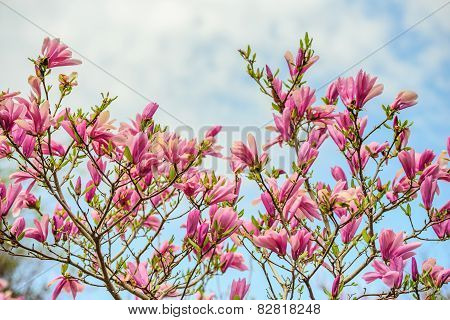 Magnolia Flowers Against A Cloudy Blue Sky