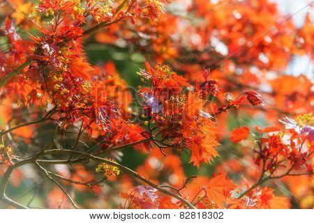 Crimson Maple Leaves In Spring