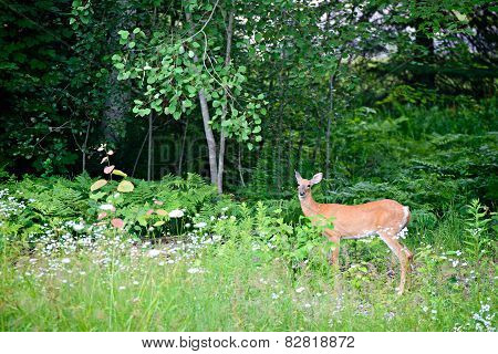 White-tailed Deer In A Forest