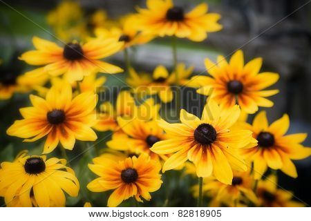 Black Eyed Susans - Close Up