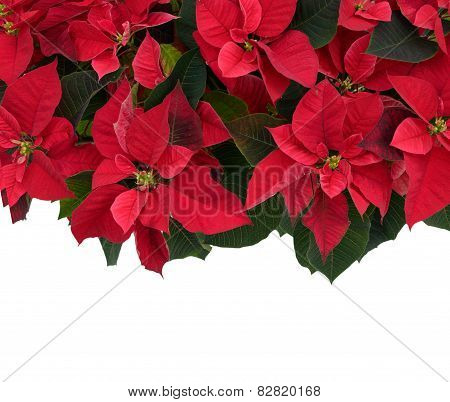 Poinsettia At The Top Of Frame On White