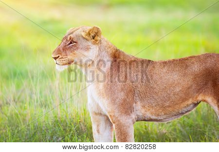 South African wild lioness, portrait of beautiful animal on fresh green grass field, big five, game drive, beauty of wildlife