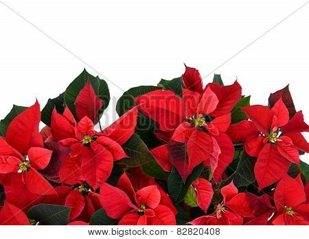 Poinsettia At The Bottom Of Frame On White
