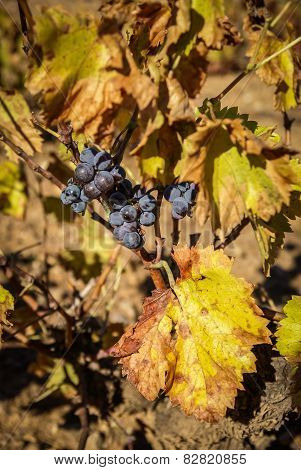 Grapes At Estepas De Belchite, Zaragoza, Aragon, Spain