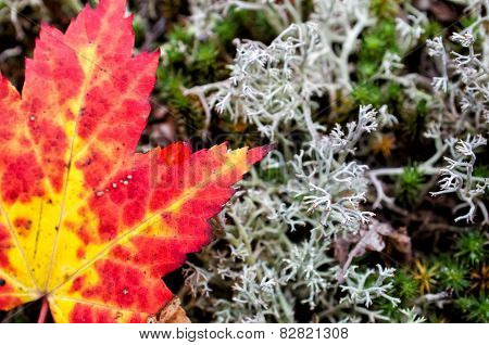 Autumn Maple Leaf And Lichen Close Up