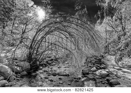 Ice Covered Frozen Forest Landscape - Black And White