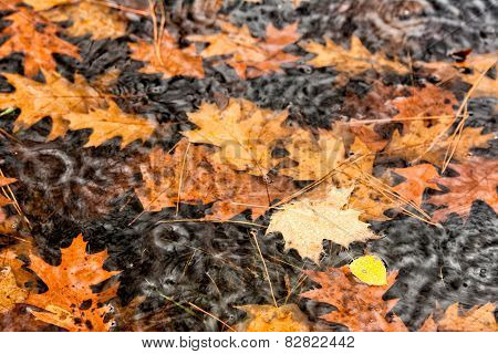 Raining On Floating Fall Leaves In A Puddle - Close Up