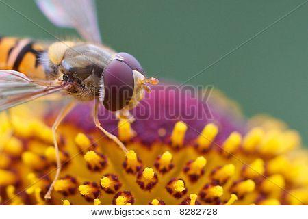 Hover fliegen closeup
