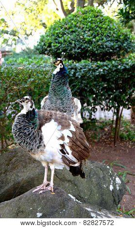 Two Peafowls in Garden