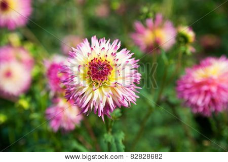 Read. Pink And White Dahlia