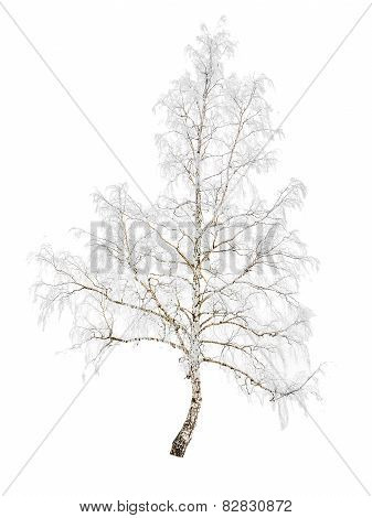 Birch In Snow Frost