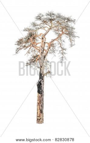 Old Dried Pine