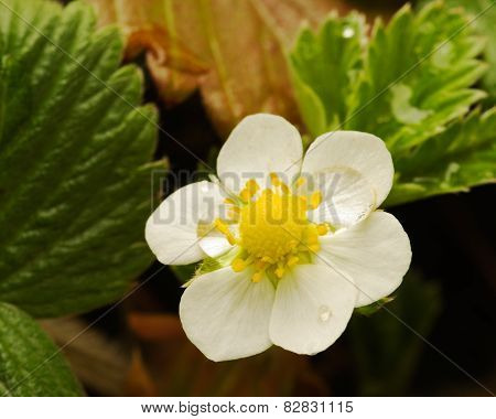 Wild Strawberry Flower - Fragaria Vesca