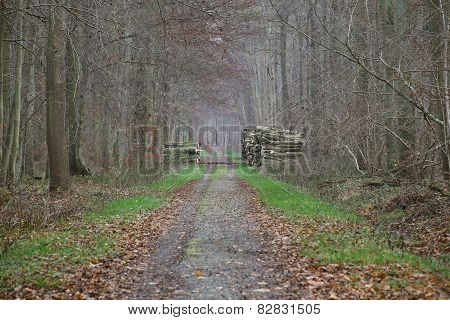 Forest Road With Stacks Of Wood
