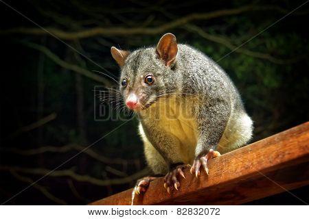Mountain possum