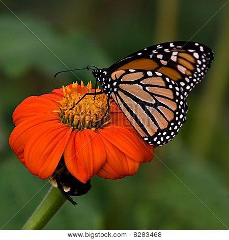 Monarch Butterfly On Orange Flower 3