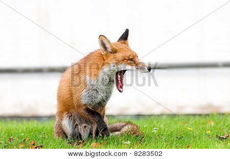 Red Fox Yawning Showing Wide Jaws and Teeth