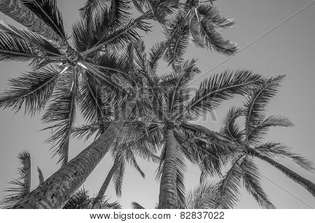 Coconut Palm Tree Grove