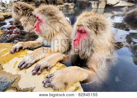 Snow Monkeys in Nagano, Japan.