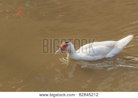 white Muscovy Duck swimming