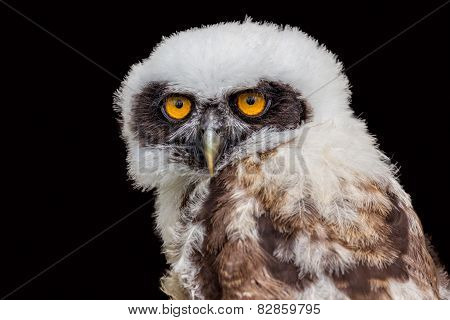 Portrait of young spectacled owl