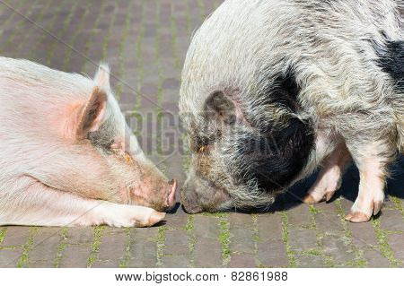 Two pigs making contact