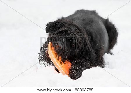 Big Black Schnauzer Dog