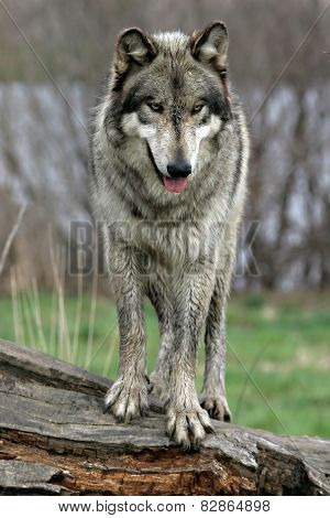 wolf standing on a log