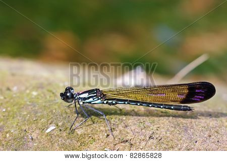 damselfly on rock