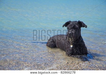 Big Black Schnauzer Dog Is Is Lying In The Sea