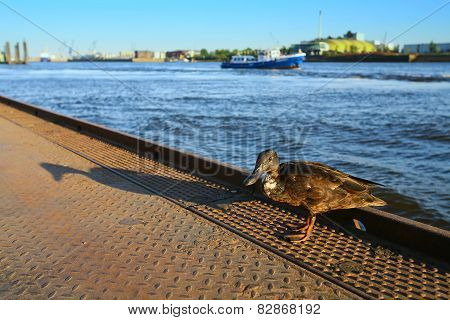 Duck Standing On Dock
