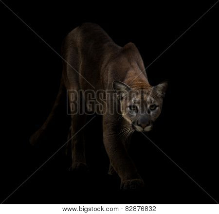 Puma In The Dark