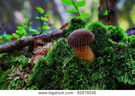 Small Brown Boletus