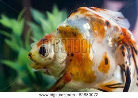 Aquarian Small Fish