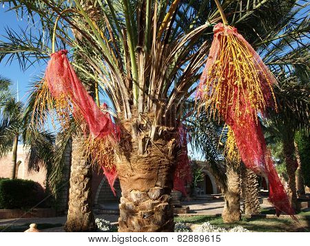 Date palm with bunches tied up