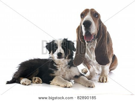 Basset Hound And Border Collie