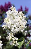 image of lilac bush  - bright white lilac bush in a lavender garden - JPG