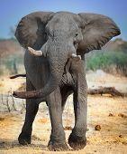 stock photo of elephant ear  - wild elephant in charge in Botswana - JPG