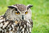 image of owl eyes  - A close up of a great horned owl head as the owl sits perched outside during a bird of prey show - JPG