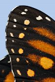 picture of monarch  - A macro shot of the tip of a monarch butterfly wing with detail of its texture - JPG