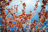 picture of blue crab  - A low angle close up of a thick layer of ice covering the branches and crab apples on a tree against a clear blue sky - JPG