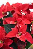 image of poinsettia  - A close up of a poinsettia plant isolated on a white background used for Christmas displays and themes - JPG