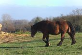 stock photo of shire horse  - Big and heavy plow horse walking on a meadow - JPG