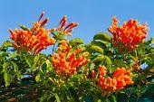foto of trumpet flower  - Pyrostegia venusta or Orange trumpet flowers and blue sky background - JPG